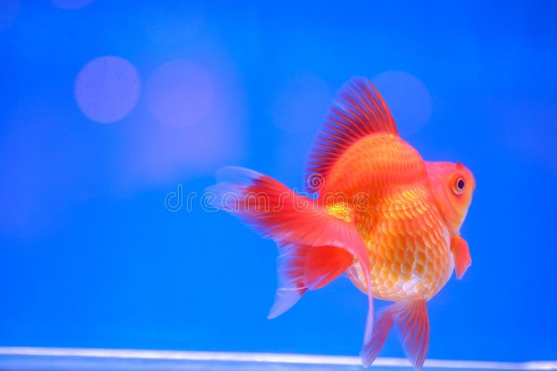 Gold fish in fish tank stock images