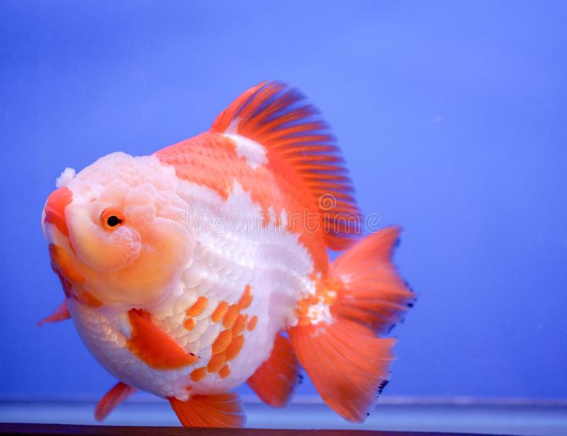 Gold fish in fish tank stock photography