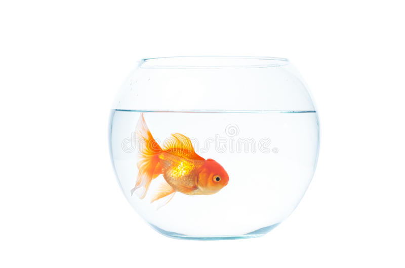 Gold fish with fishbowl on the white background stock photos