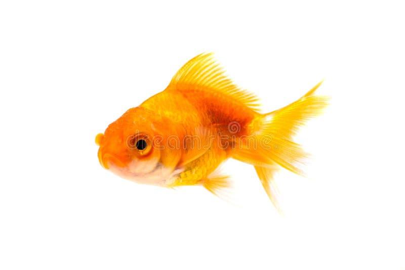 Gold fish or goldfish isolated on white background stock photos
