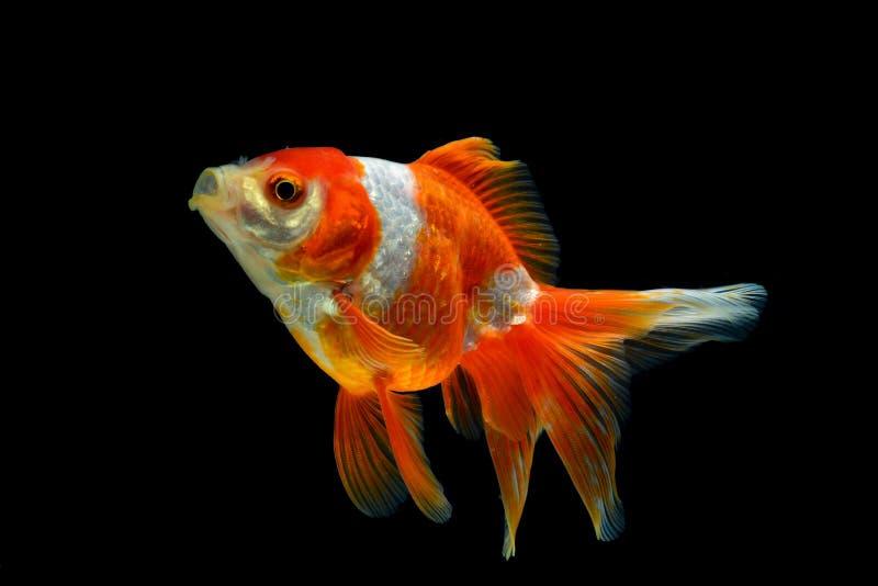 Gold fish stock photo