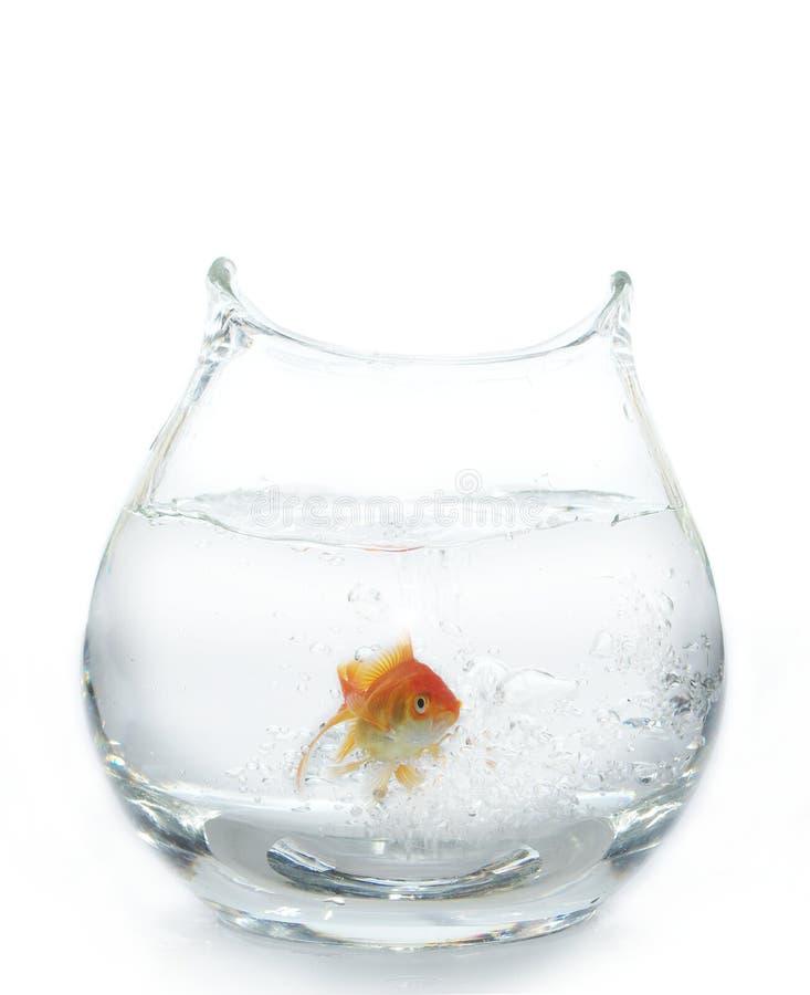 Free Gold Fish In Aquarium Royalty Free Stock Photography - 10072997
