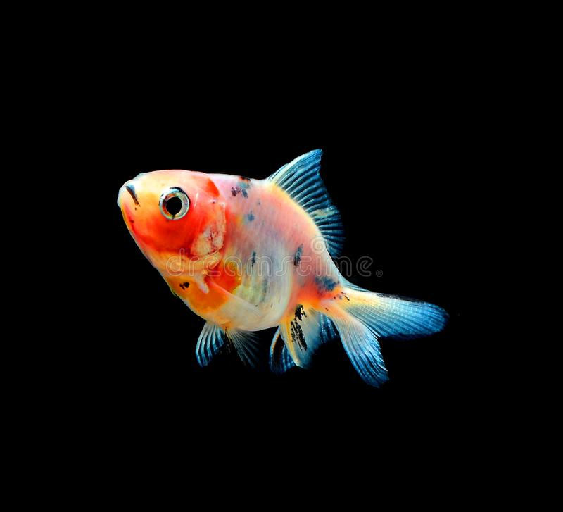Gold fish  on black background stock photos