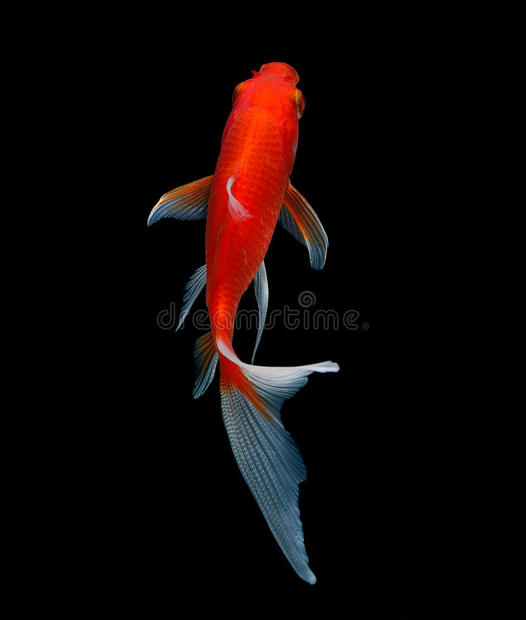 Gold fish isolated on black stock photo