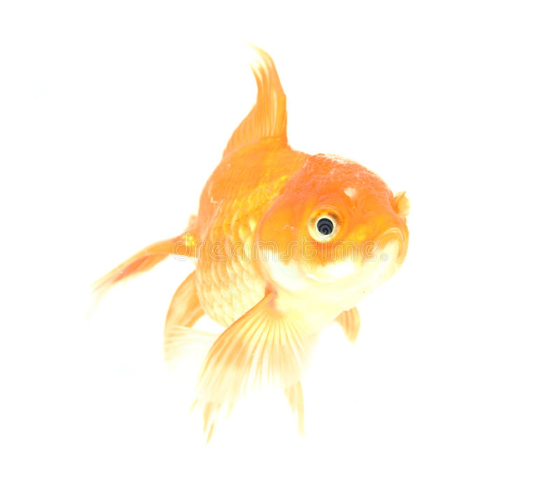 Gold fish. Isolation on the white. Animal aquarium aquatic background beautiful bowl bubble carp clear color concept cute dream fin royalty free stock photos