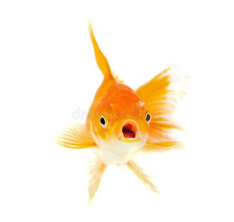Gold fish isolation on the white stock images