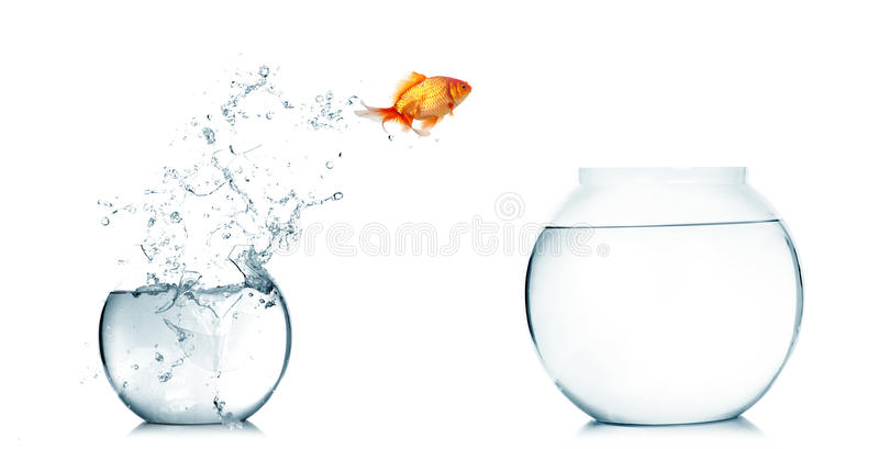 Download Gold fish jumping stock photo. Image of freedom, fishes - 20606346