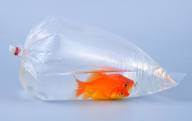 Gold fish in plastic bag stock photos