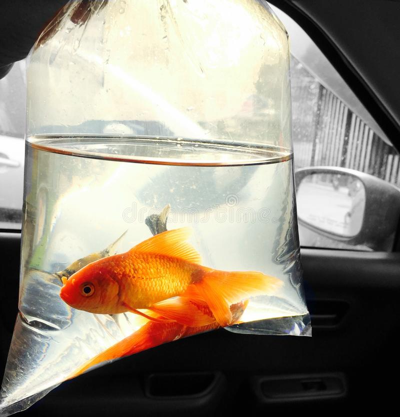 Gold fish in plastic bag stock photography