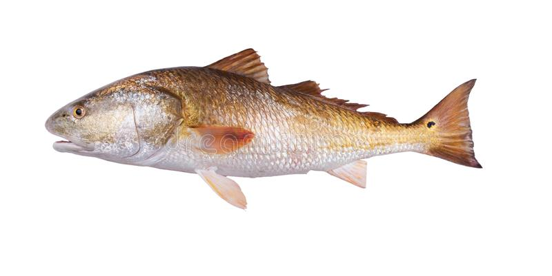 Gold fish Red Drum Sciaenops ocellatus. Isolated on white background. Gold fish Red Drum Sciaenops ocellatus, also known as channel bass, redfish, puppy drum stock images