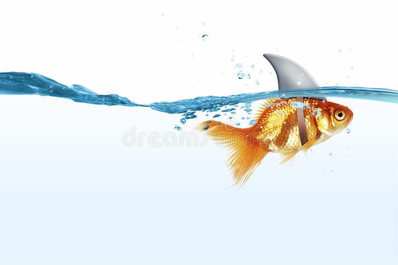Gold fish with shark flip royalty free stock photography