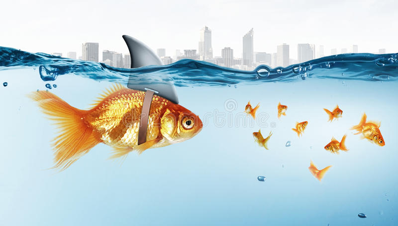 Gold fish with shark flip royalty free stock images