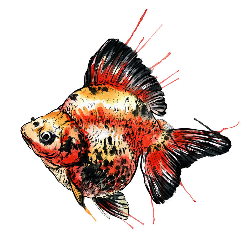 Gold fish vector watercolor illustration. Isolated on white royalty free illustration