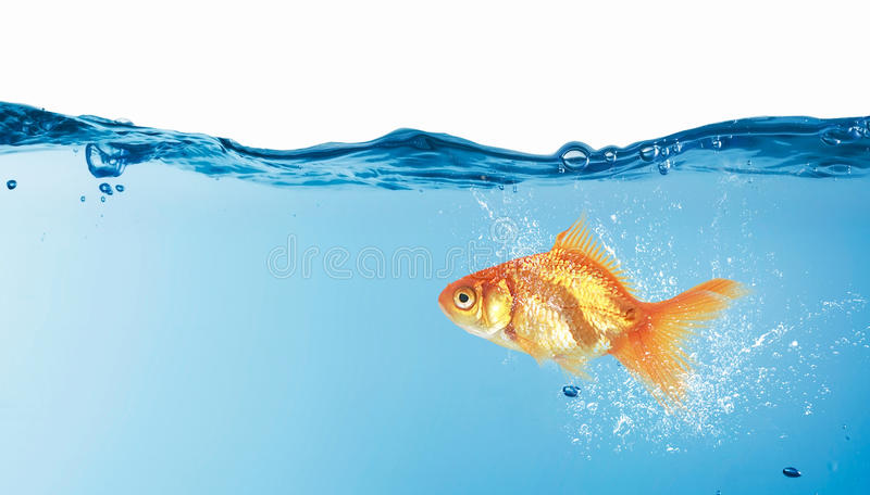 Gold fish in water . Mixed media stock photography