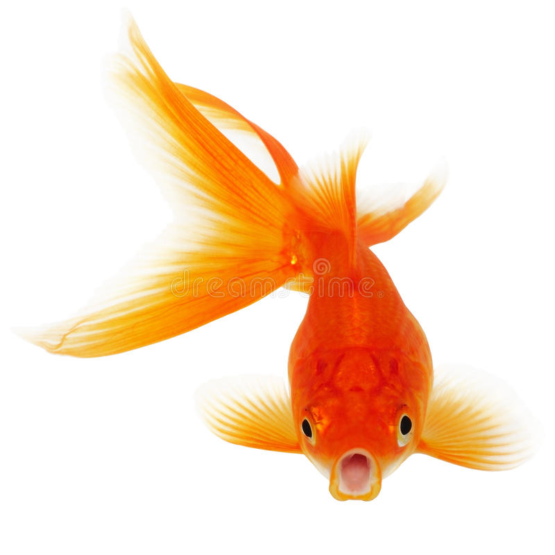 Gold Fish on White Background royalty free stock images