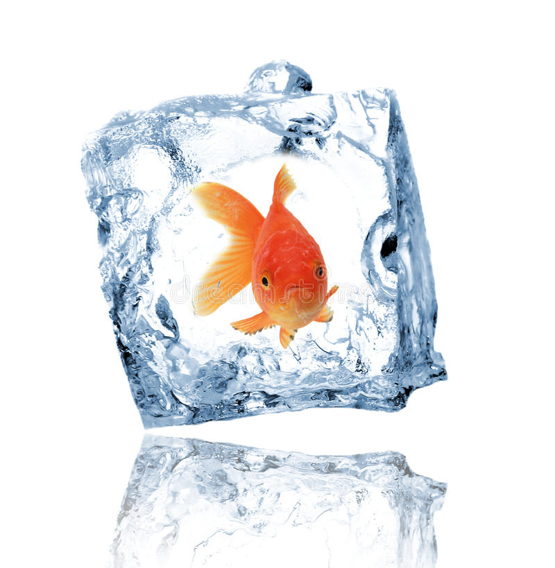 Gold fishes in ice cube royalty free stock photography
