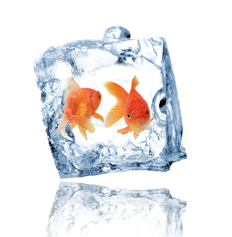 Gold fishes in ice cube. Isolated on white stock photo