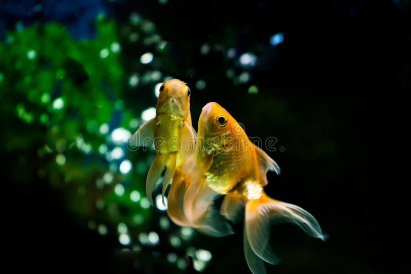 Gold Fishes swimming. In fresh water aquarium royalty free stock photography