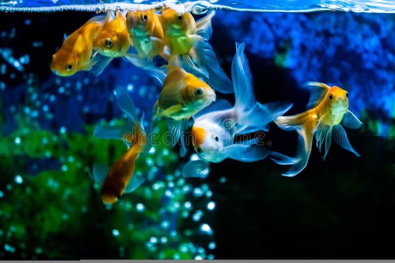Gold Fishes swimming. In fresh water aquarium stock photo