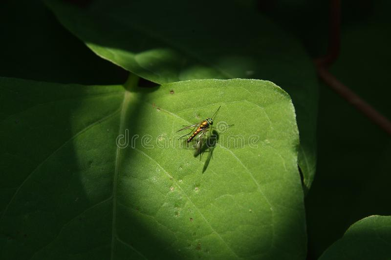 Gold Fly Stock Image
