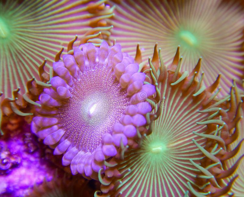 Gold and green palythoa button polyp corals. Macro of gold and green palythoa soft coral button polyps growing tightly grouped together underwater in a captive royalty free stock image