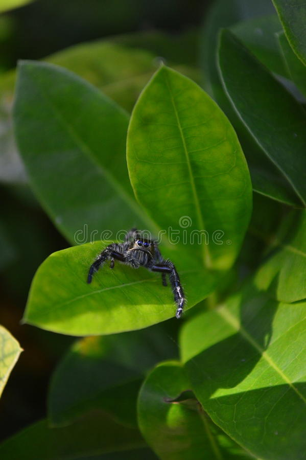Gold head spider royalty free stock photography