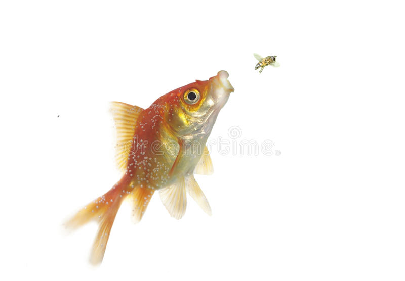 Gold hunting on fly fish royalty free stock images