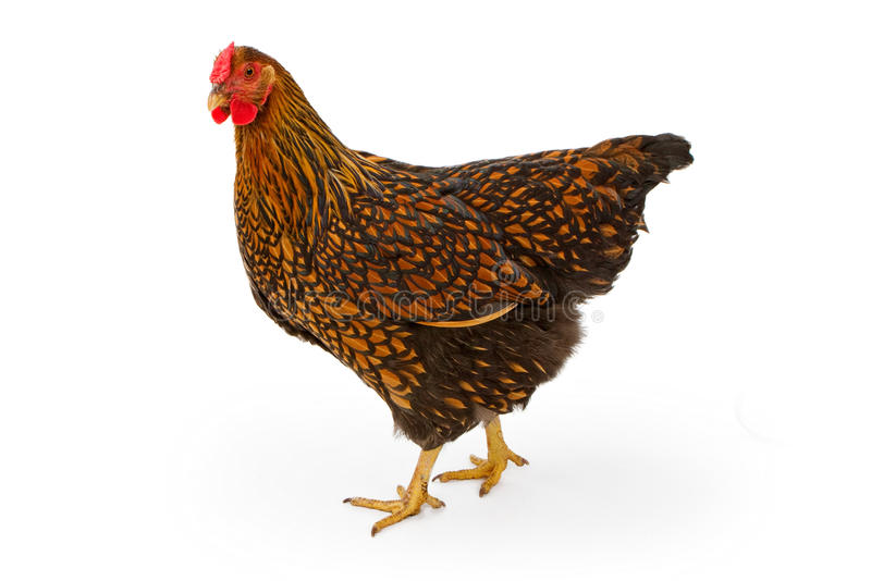 Gold Laced Wyandotte Hen Isolated on White royalty free stock image