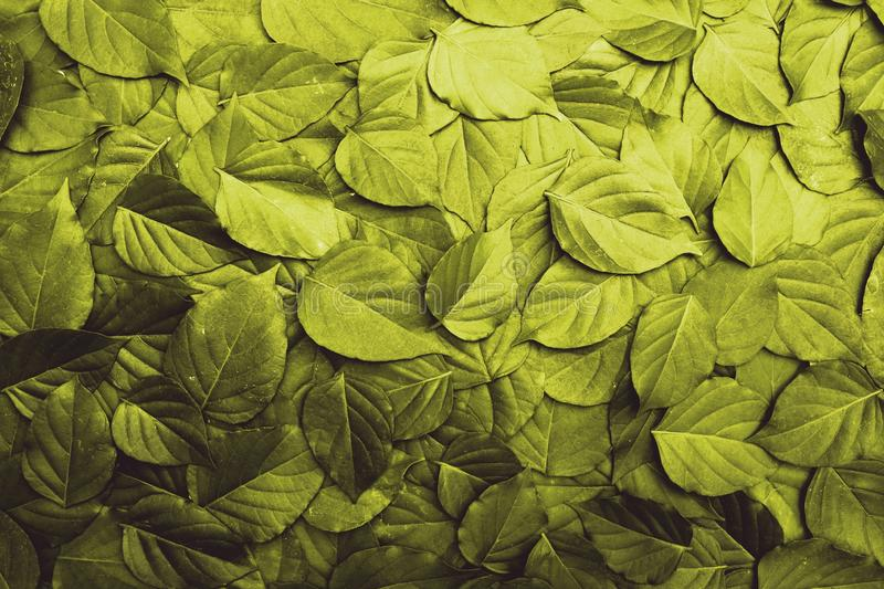 Gold leaf texture pattern, beautiful nature background concept. Copy space healthy pleasant natural dramatic closeup plant symmetry organic detail foliage stock photo