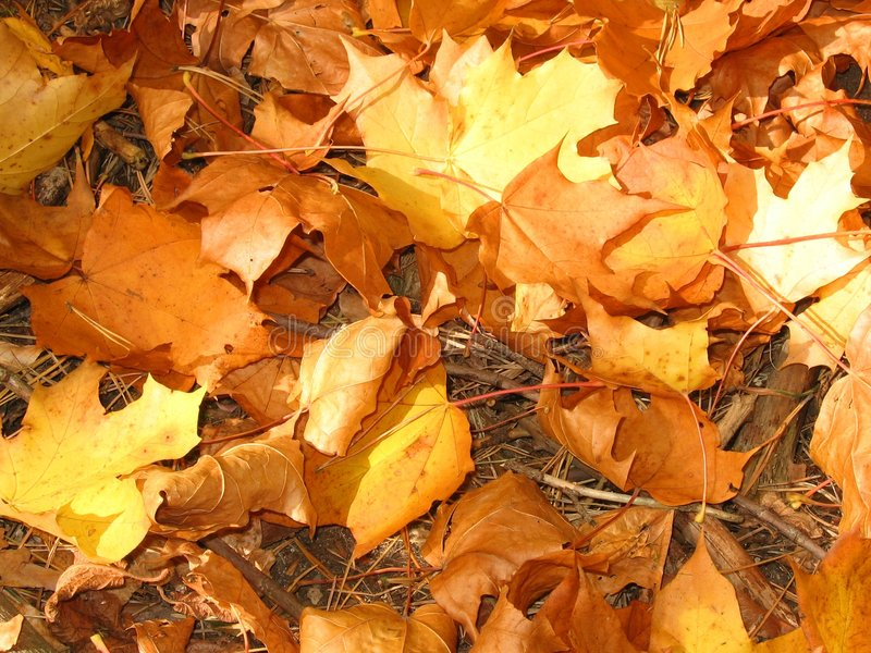 Gold leaves royalty free stock images