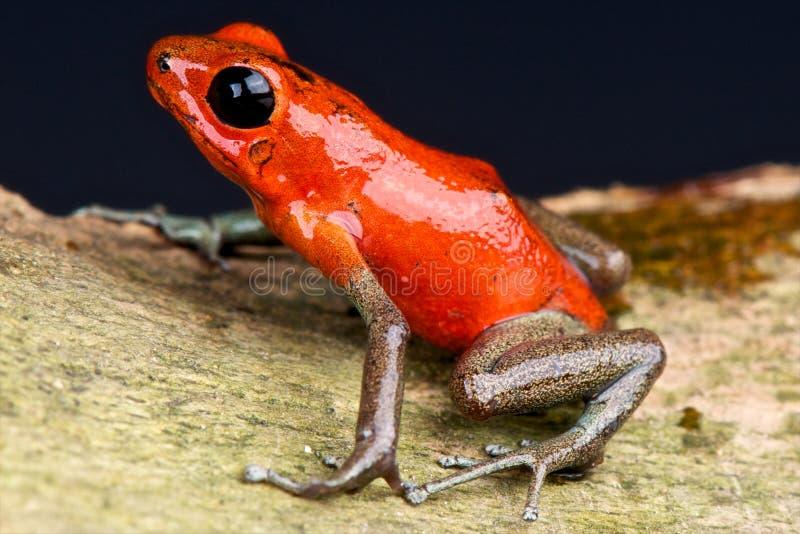 Gold legged dart frog stock photo