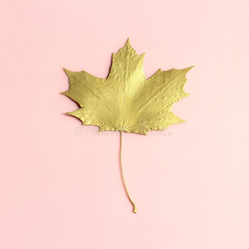 Gold maple leaf on pastel pink background stock photos