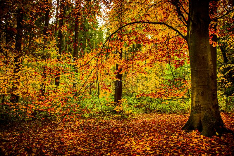 Gold october light in forest royalty free stock photography