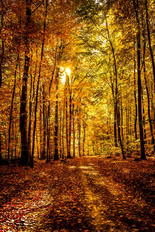 Gold october light in forest royalty free stock photos