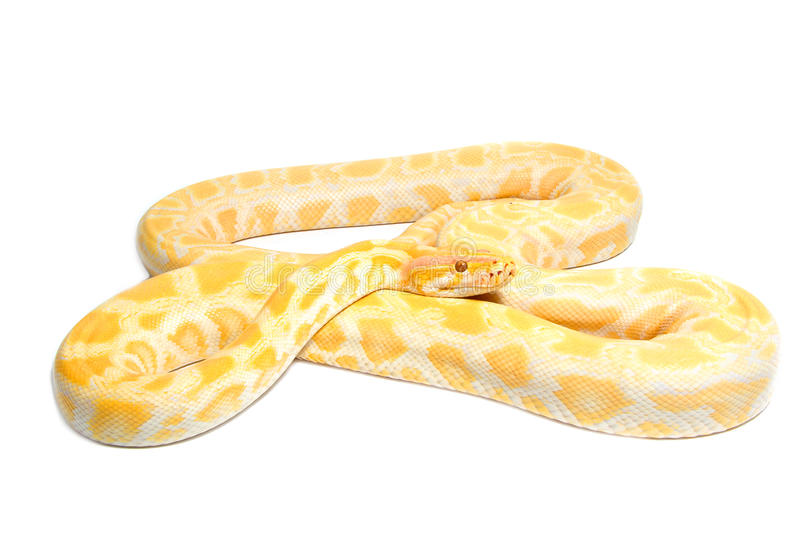 Gold Python,Abino snake. On white background royalty free stock images