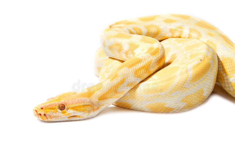 Gold Python,Abino snake. On white background stock photo