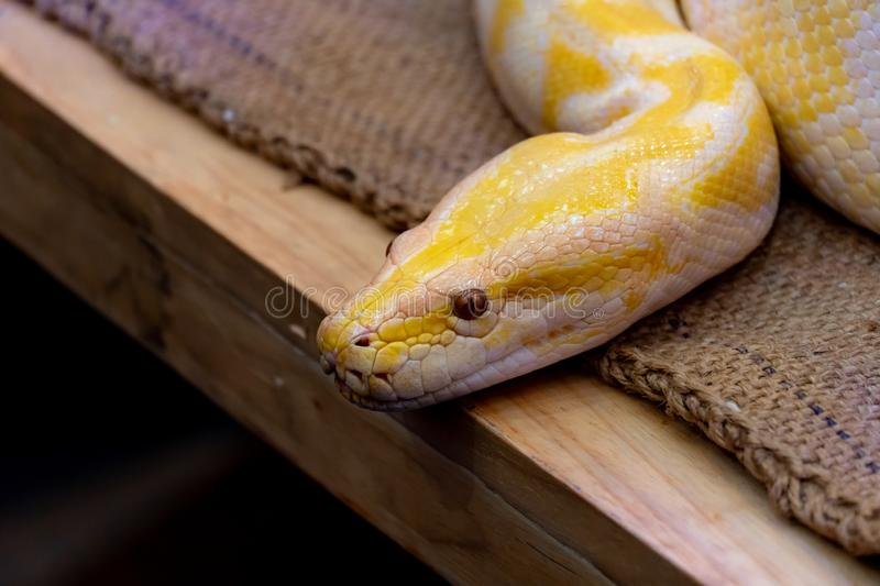 Gold Python,Reticulated python. Gold Python or Reticulated python in the zoo stock image