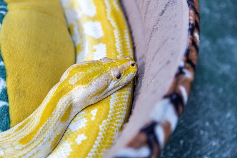 Gold Python Snake on the couch. Selective focus royalty free stock image