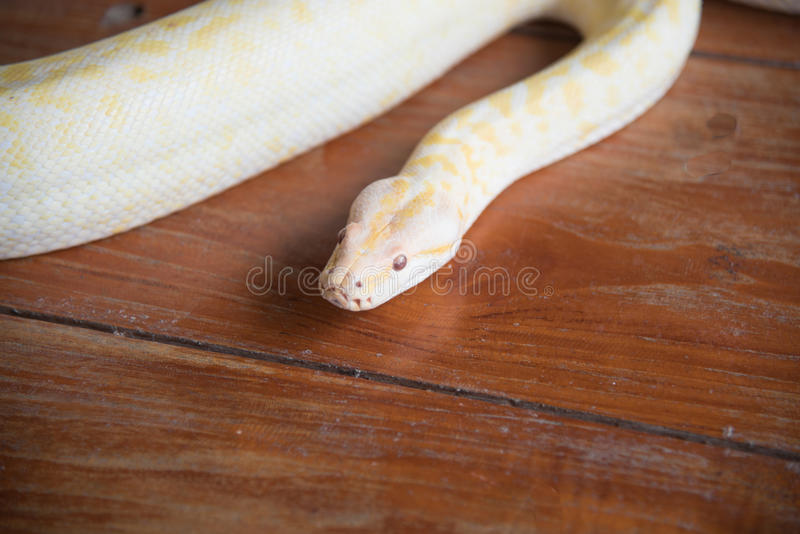 Gold python snake head On wooden floor.  stock image