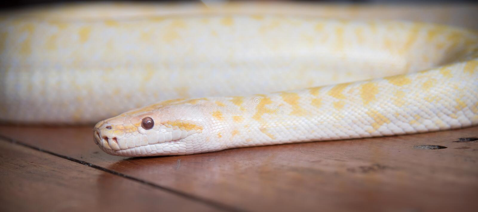 Gold python snake On wooden floor.  royalty free stock images