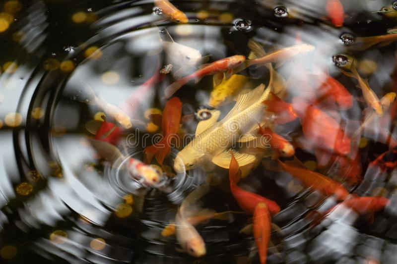 Gold and red fishes in pond with water circles stock photos