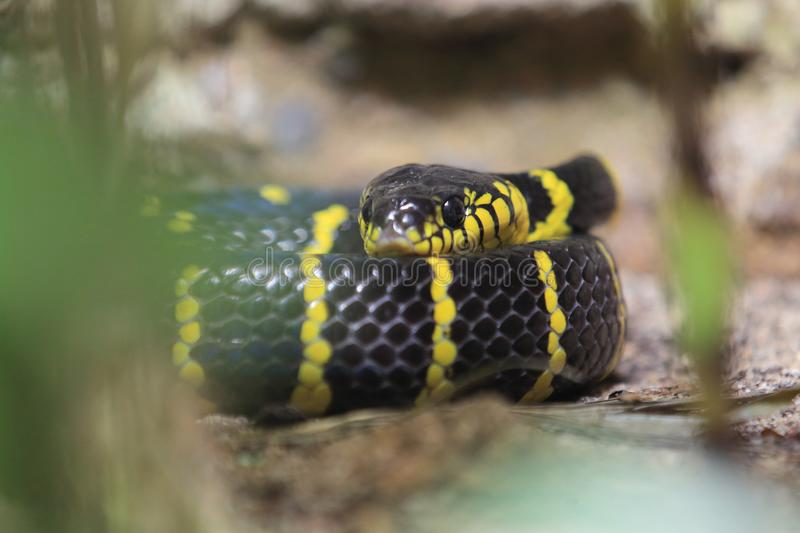 Gold-ringed cat snake. Lying on the soil royalty free stock image