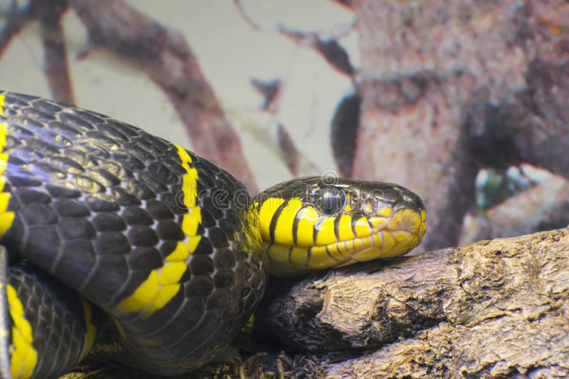 Gold-ringed cat snake or mangrove snake (Boiga dendrophila). Gold-ringed cat snake (Boiga dendrophila royalty free stock image