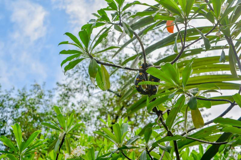 Gold-ringed cat snake on the tree. Phang Nga , Thailand royalty free stock photo