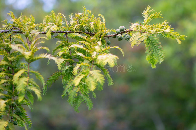 Gold rush tree (Metasequoia glyptostroboides) branch. Yellow leaves of endangered coniferous tree native to China, aka the dawn redwood, in the family royalty free stock photography