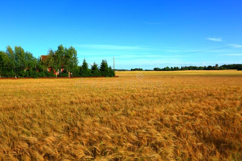 Gold rye field in August. Amazing beauty picture of a gold rye field in august, Swedish suburb royalty free stock photo