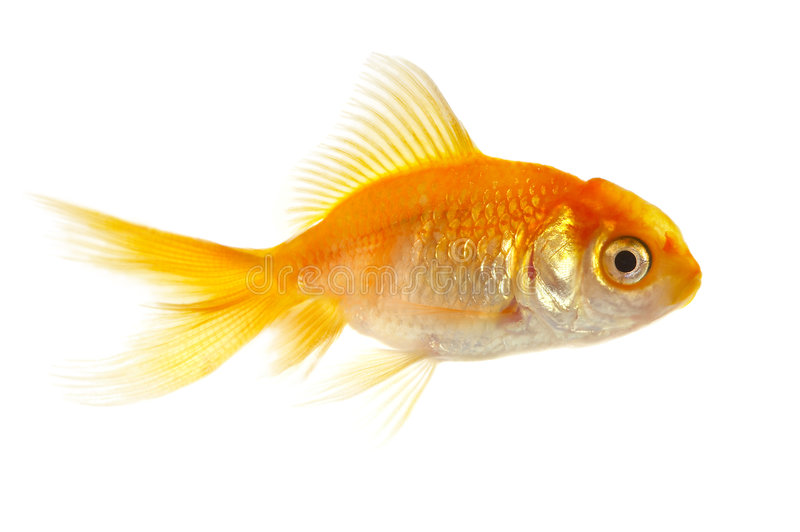 Gold small fish stock photo
