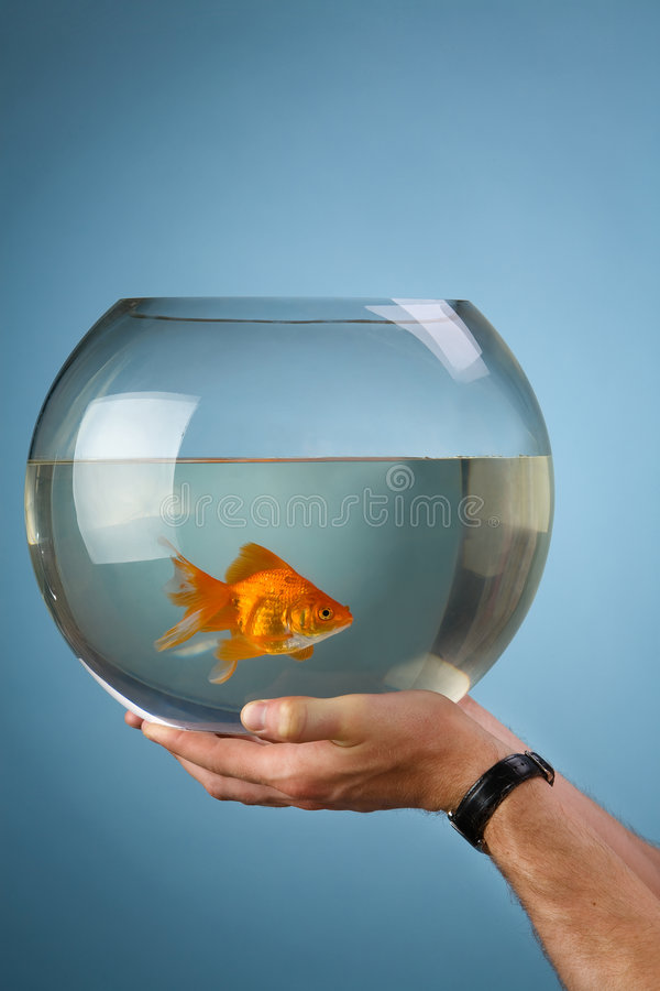 Gold small fish in a round aquarium. Man's hands hold a round aquarium in which the gold small fish floats stock images