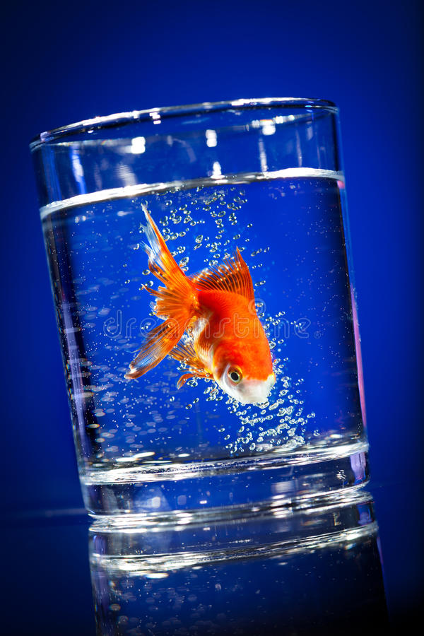 Download Gold Small Fish In A Water Glass Stock Photography - Image: 16218692