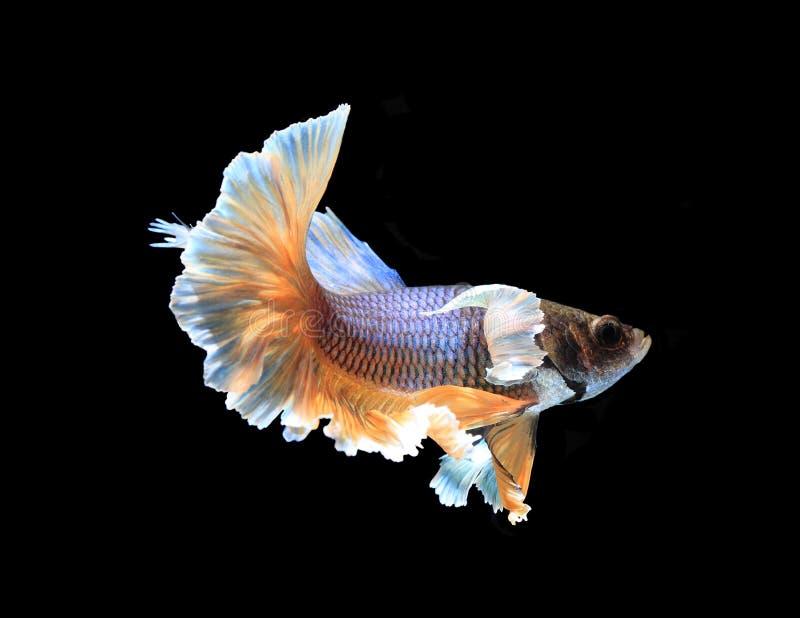 Gold und das blaue siamesische Kämpfen fischen Halbmond, betta Fische isola stockfoto